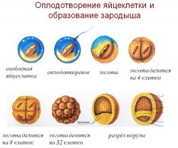 Оплодотворение. Подробное описание процесса оплодотворения. Как происходит процесс оплодотворения. Что такое искусственное оплодотворен